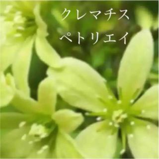咲き始め‼️垂れ下がる クレマチス  ペトリエイの苗❤️送料無料 正規品(その他)
