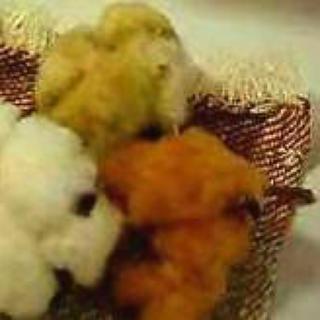 コーンと3色オーガニックコットンの種(ドライフラワー)