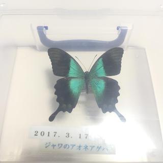 (値段未定)アオネアゲハ ジャワ 標本(虫類)