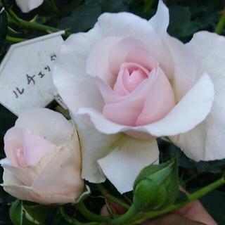 入手困難な薔薇イングリッシュローズ❤『ルチェッタ』❤『ムーンビーム』挿し木苗❤(その他)