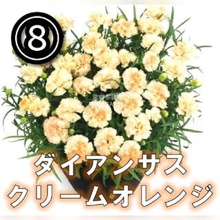 【ナデシコ⑧】クリームオレンジ 種子30粒前後【ディアンサス】(その他)