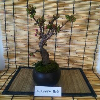 さくらのミニ盆栽(その他)