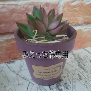 リメイク鉢&ルブラカット苗セット(赤紫)(プランター)