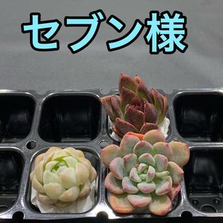 セブン様専用 多肉植物(その他)