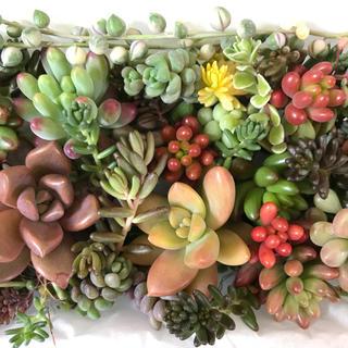 多肉植物 カット苗 20種類以上 寄せ植え用A(その他)
