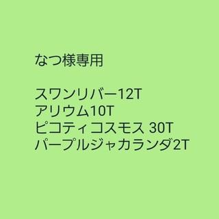 【スワンリバーデイジー】ブラキスコメ ミックスカラー 種子12粒(その他)