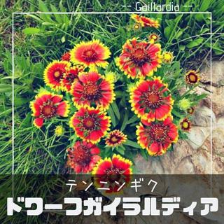 【ドワーフガイラルティア】種子12粒 テンニンギク(その他)