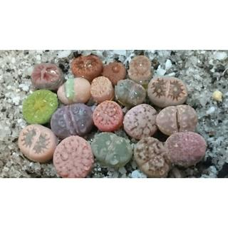 SALE♪ 108a 多肉植物 リトープス 1年生玉の寄せ植え 可愛い ♪(その他)