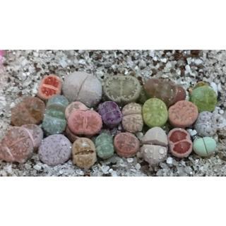 早い者勝ち 149 多肉植物 リトープス 1年生玉・21種のセット レア玉美玉(その他)