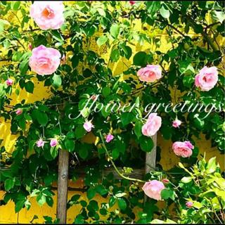 スパニッシュビューティー 四季咲き つるバラ カット苗 6本 即購入可(プランター)