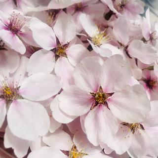 E33☆桜【10輪】 花材 ドライフラワー (ドライフラワー)