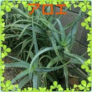 キダチアロエ・多肉植物 6苗(内、1本根付き)(野菜)