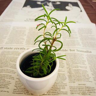 完全無農薬 植物☆ 発根済み 枝分かれ ローズマリーの木 抜き苗 D(野菜)