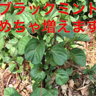 ブラックミント❤️無農薬❤️根付き❤️香り良し❤️増えます❤️容器込50g(野菜)