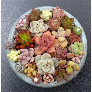 多肉植物 【0091】  カラフル多肉&センペル 25+3種セット(1)(その他)