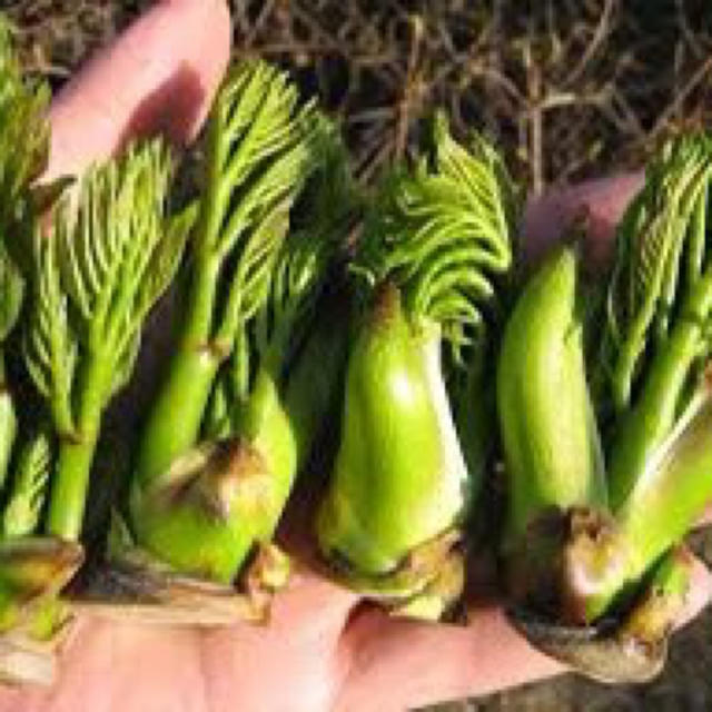 天然物 タラの芽 コシアブラ 山菜 食品/飲料/酒の食品(野菜)の商品写真