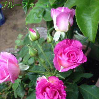 薔薇の苗 青系②(その他)