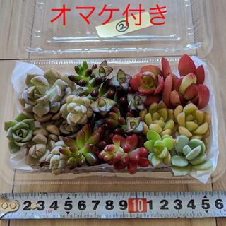 ★☆3パック限定☆★  多肉植物  カット苗(根つきあり) ②(その他)