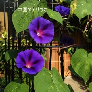 春蒔き花の種 「中国の朝顔」の種30粒 &「チョウセンアサガオ」の種20粒(その他)