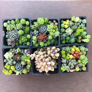 【多肉植物】容器6個入り、土付きの配送(その他)