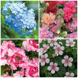 春~夏苗   4種4苗 (宿根草含)イングリッシュガーデン LD430(その他)