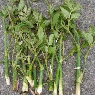 山菜(たらの芽・コゴミ・ワラビ)(野菜)