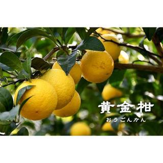 ※訳アリ 黄金柑(3kg)【4月末頃まで】(フルーツ)