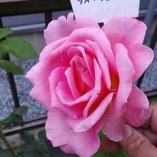 薔薇❤『ティファニー』❤挿し木苗(その他)