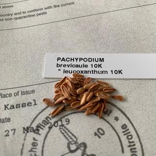 パキポディウム  ブレビカウレ レウコキサンツム 白花 種 レア 10粒(その他)