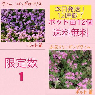 本日午前中発送◆クリーピングタイム赤花、ロンギカウリス ポット苗 12個(その他)