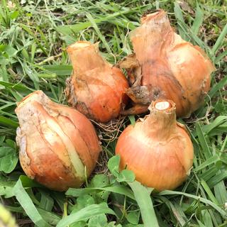 オーガニック 福岡県産 無農薬 無肥料 玉ねぎ 3kg(野菜)