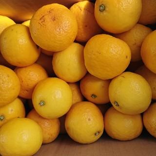 地元果物屋おすすめ高知宿毛産すくも小夏Sサイズ5キロ家庭用/日向夏本州送料込み(フルーツ)