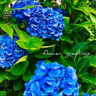 アジサイ #古典 #日本紫陽花 ブルー カット苗 3本(その他)