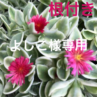 86☆春です❗️根付き☆斑入り☆ベビーサンローズ❣️(プランター)