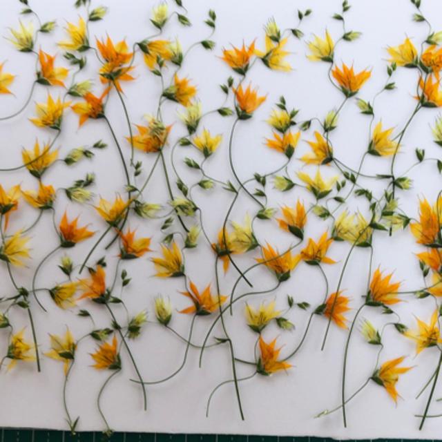 メラスフェルラの押し花 ハンドメイドの素材/材料(その他)の商品写真