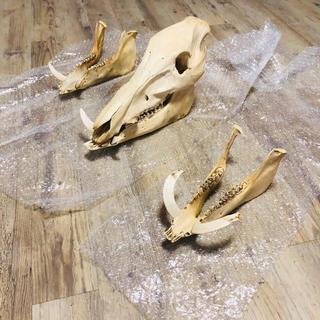 いのしし  骨格標本(その他)