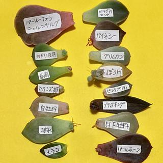 多肉植物 葉挿し(その他)