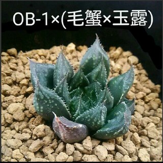 多肉植物 ハオルチア 交配種(その他)