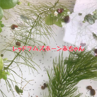 レッドラムズ赤ちゃん  20匹(+α)(アクアリウム)