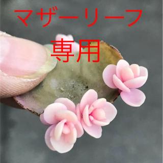 akki様 専用★★マザーリーフ★親葉★奇跡の葉❤️★妊活に♪♪★多肉植物★★(その他)