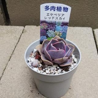 多肉植物        レッドスカイ(その他)