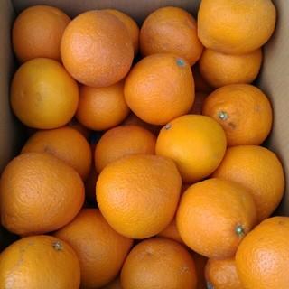 清見オレンジ 約10キロ 佐賀県産 みかんのように柔らかい実です!(フルーツ)