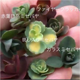 多肉植物!ミセバヤ(その他)