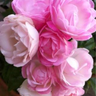 ハートの花びら 四季咲き バラ マザーズデイの苗❤️送料無料(その他)
