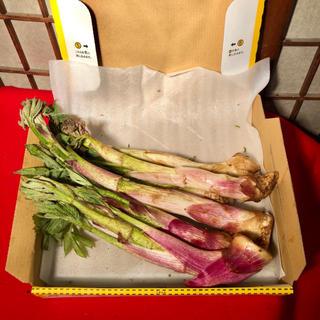 今朝採り、新鮮ウド  限定5セット(野菜)