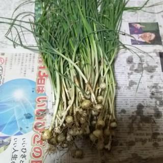 ノビル 野蒜 野草(野菜)