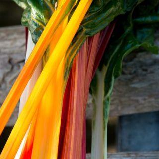 5色スイスチャードMIX種子 20粒(野菜)