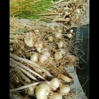 野蒜50本(野菜)