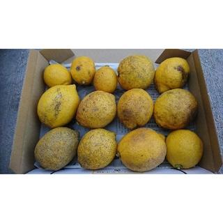 訳あり!広島県大崎下島産 無農薬レモン 1.3キロ(フルーツ)