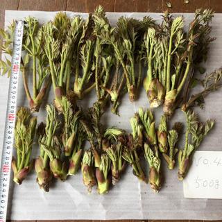 タラの芽 新潟県産天然 450g(野菜)